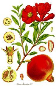 Granatowiec - kwiaty i owoce